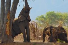 Ελεύθεροι ελέφαντες στην όχθη του Ποταμού Ζαμβέζη!