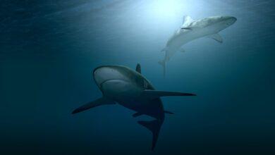 Καρχαρίες - Οι σιωπηλοί κυνηγοί των ωκεανών